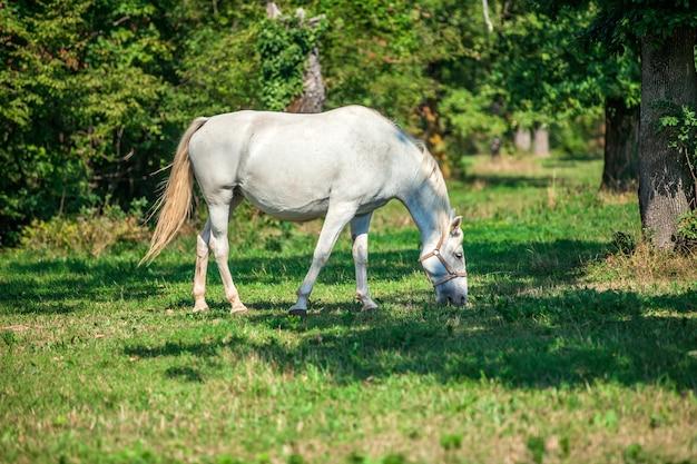 Schönes weißes pferd, das auf dem grünen gras in der lipica, nationalpark in slowenien weidet