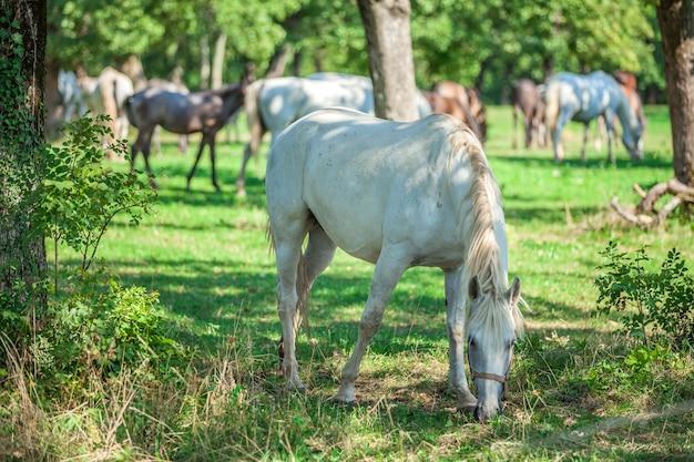 Schönes weißes pferd, das auf dem grünen gras in der lipica weidet