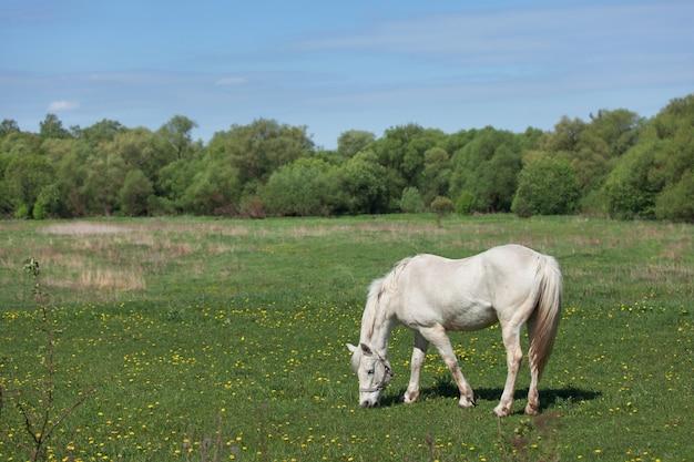 Schönes weißes pferd, das gras auf dem feld mit gänseblümchen isst