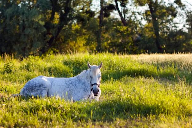 Schönes weißes pferd, das im grünen gras liegt