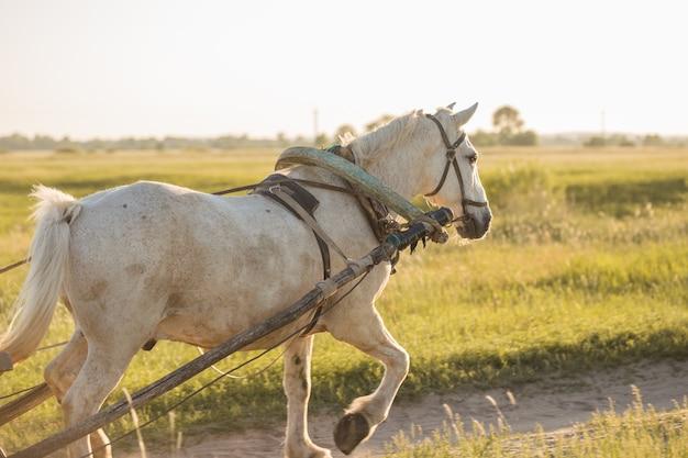Schönes weißes pferd, das mit altem hölzernen karren auf wiese gespannt wird. landschaftshaus im freien landschaft