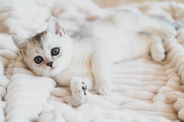 Schönes weißes schottisches kätzchen auf einer weißen plüschdecke. foto in hoher qualität