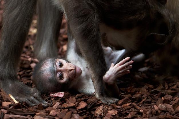 Schönes weißhalsiges mangabey-baby und ihr vater spielen in einem zoo in valencia, spanien