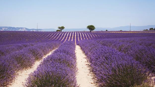 Schönes wohlriechendes lavendelfeld in hellem hellem valensole, provence, frankreich