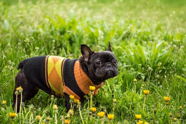 Schönheit der französischen bulldogge unter löwenzahn und grünem gras