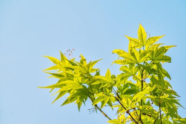 Schönheit fraxinus blau umwelt pflanzen