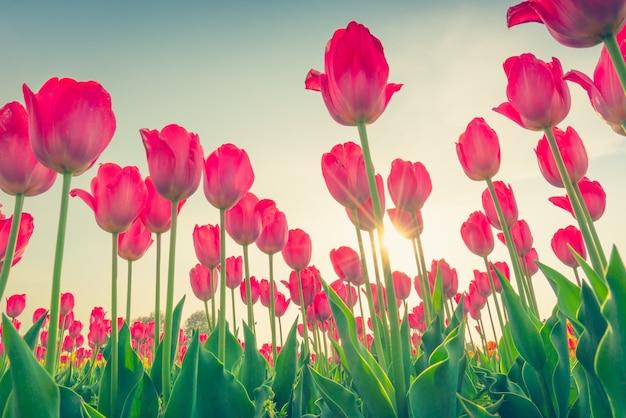 Schönheit tulpen schöne bouquet feld