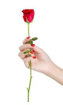 Schönheitshand mit den roten nägeln, die rotrose lokalisiert auf weißem hintergrund halten