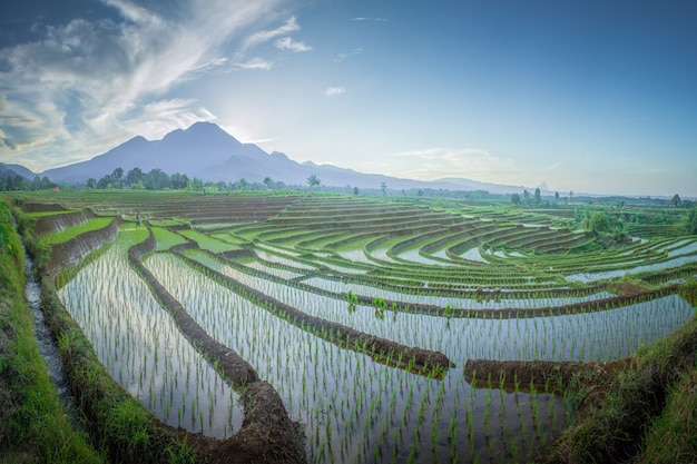 Schönheitslandschaftspaddyfelder in nord-bengkulu, indonesien mit erstaunlichem morgenhimmel