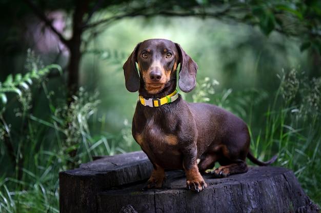 Schokoladen-dackelhund im grünen garten