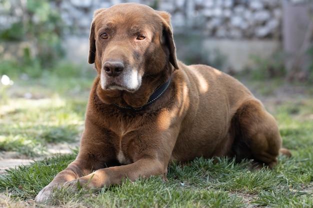 Schokoladen-labrador-hund, der auf gras im freien legt
