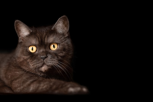 Schokoladen tabby schottische gerade katze mit großen gelben augen auf schwarz