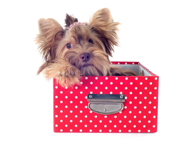 Schokoladenyorkshire-terrier