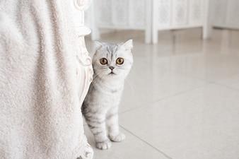 Schöne graue Tabbykatze mit gelben Augen steht auf weißem Boden