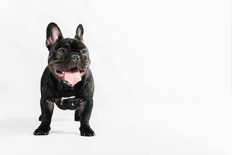 Schöne Haustiere Zusammensetzung mit Bulldogge