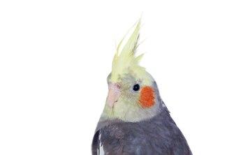 Schöne Papageiennymphe grau mit gelbem Kamm