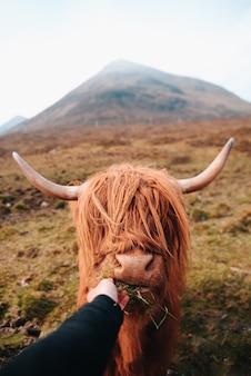 Schottische braune kuh mit großen hörnern, die von einer hand im hochland (in den bergen) in schottland mit gras gefüttert werden. nahansicht.