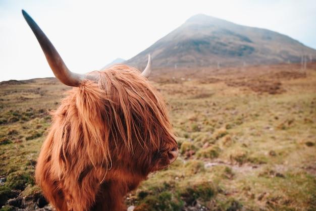 Schottische braune kuh mit großen hörnern im hochland (berge) in schottland. nahansicht.