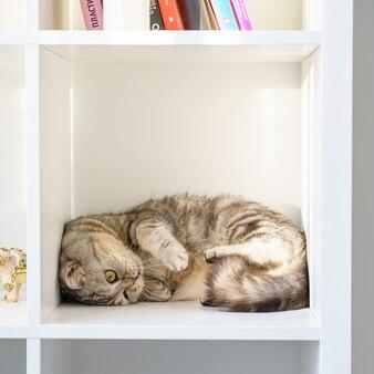 Schottische gerade getigerte katze liegt auf dem regal katze ist in einem geschlossenen geschlossenen raum große kiste oder kiste