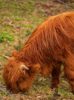 Schottische hochlandkühe auf der weide.