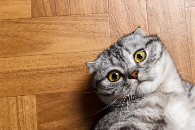 Schottische katze, die auf dem boden liegt und die kamera genau betrachtet