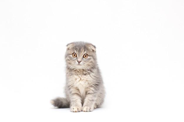 Schottisches falzkätzchen, silberne schottische katze