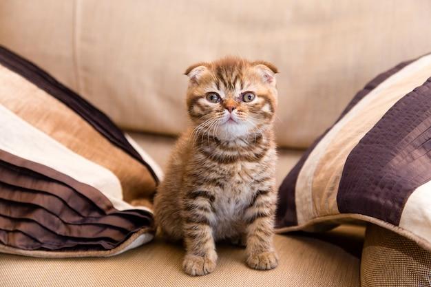 Schottisches kätzchen, das auf einem braunen stuhl zwischen zwei kissen sitzt