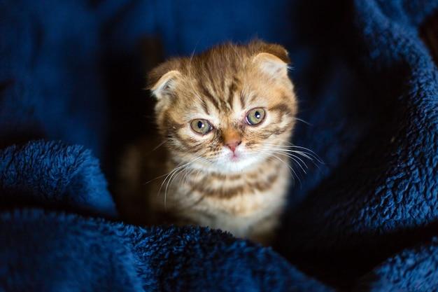 Schottisches kätzchen sitzt auf blauem tuch