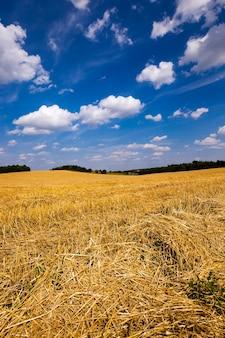 Schrägweizen - ein landwirtschaftliches feld, auf dem die erntefirma weizen vorbeifuhr