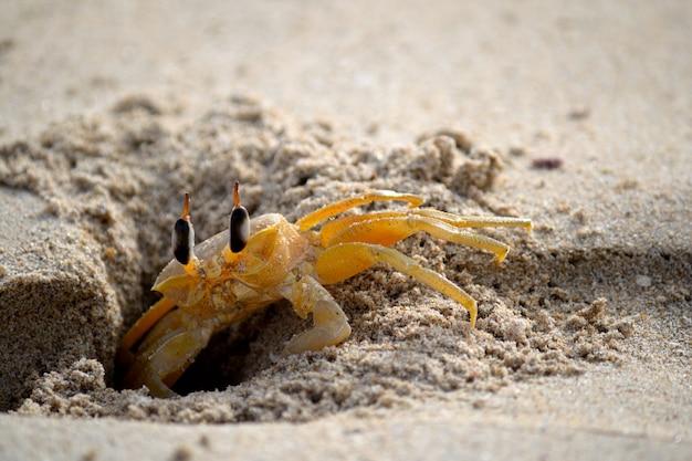 Schüchterne geisterkrabbe im sand
