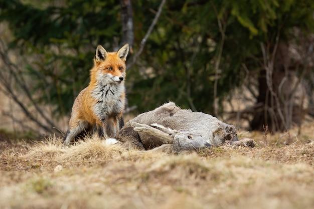 Schüchterner roter fuchs, der nahe einer tötung von reh in der winternatur wartet