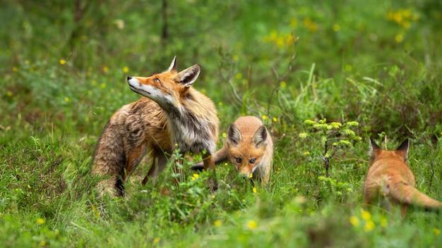 Schützende rotfuchsmutter, die ihre spielenden jungen auf grüner lichtung in der natur bewacht