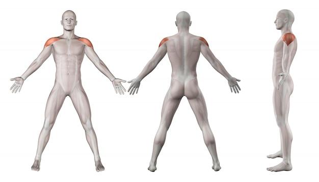 Schultern muskeln