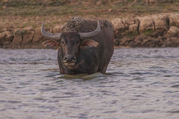 Schuss des büffels, der die kamera in doi tao see, thailand betrachtet