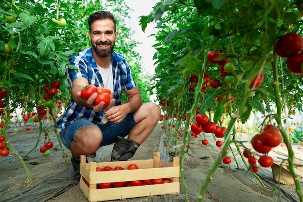 Schuss des jungen bärtigen bauern, der tomaten in seiner hand hält, während er im gewächshaus des bio-lebensmittel-bauernhofs steht