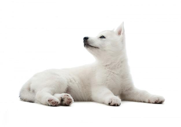 Schuss eines niedlichen kleinen weißen siberian husky welpen liegend, der den copyspace auf der seite lokalisiert auf weiß betrachtet.