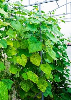 Schuss von gurkenpflanzen, die innerhalb eines gewächshauses wachsen.