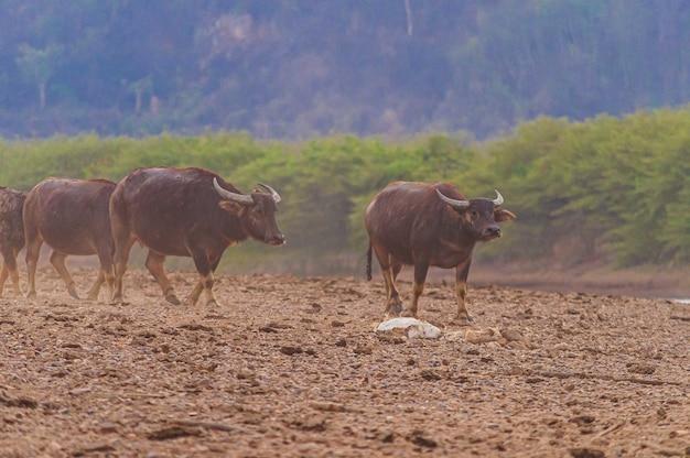 Schuss von mehreren braunen büffeln, die auf dem felsigen land neben doi tao see, thailand gehen
