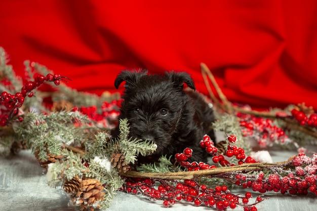 Schuss von schottischem terrierwelpen auf roter wand Kostenlose Fotos