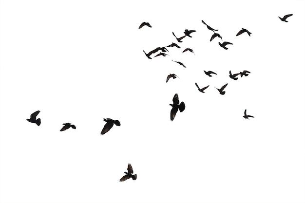 Schwärme von fliegenden tauben isoliert auf weißem hintergrund. beschneidungspfad.