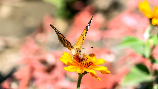 Schwalbenschwanz oder birnbaum schwalbenschwanzschmetterling auf der kosmosblume in den gärten schwalbenschwanzschmetterling auf der kosmosblume in sotschi,