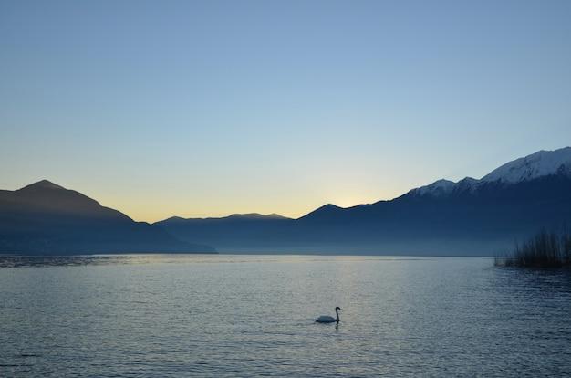 Schwan, der im alpsee lago maggiore mit bergen in der abenddämmerung im tessin, schweiz schwimmt
