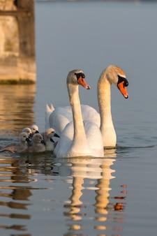 Schwanenfamilie, die im schönen weichen sonnenuntergangslicht auf dem see schwimmt