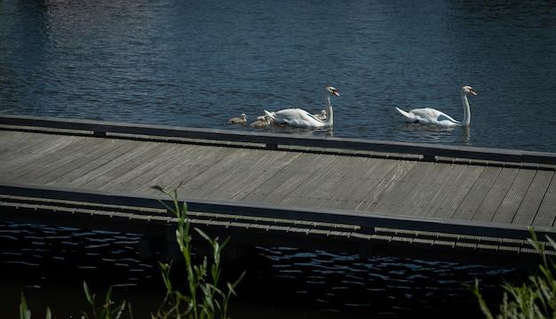 Schwanenfamilie im teich