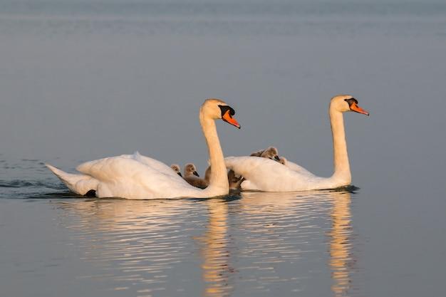 Schwanenfamilie mit vielen kleinen schwänen, die auf ihren eltern ruhen