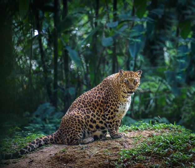 Schwangere jaguarfrau, die schaut