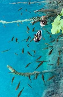 Schwarm von kleinen fischen und wildentenpaaren im azurblauen sauberen transparenten see