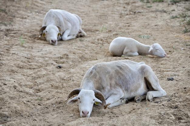 Schwarm von tarasconnais-schafen auf trockener trockener weide