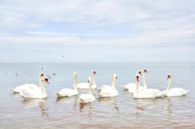Schwarm weißer schwäne schwimmt in ruhigem, sauberem meerwasser