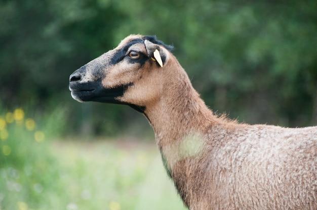 Schwarz kamerun schafe du mouton schafe
